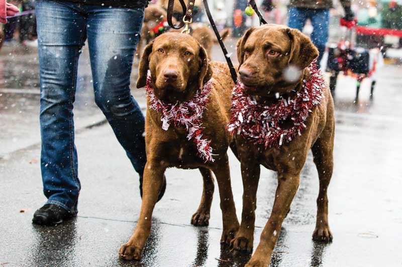 Eastern Shore hunting dogs are welcome at the Christmas Parade in St. Michaels. Photo courtesy Christmas in St. Michaels