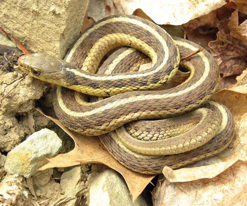 snakes of the chesapeake