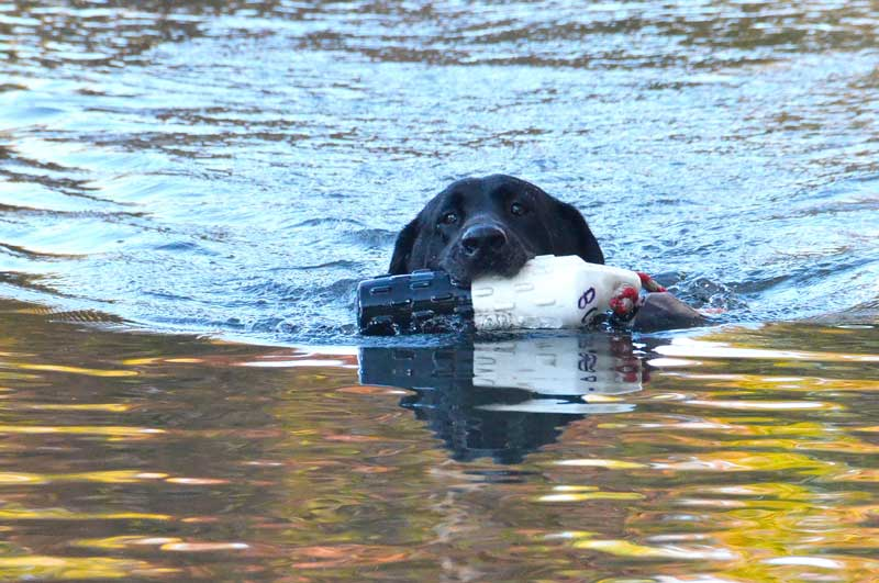 A retriever demonstration is one of the highlights of the outdoor activities. Photo courtesy of the Waterfowl Festival