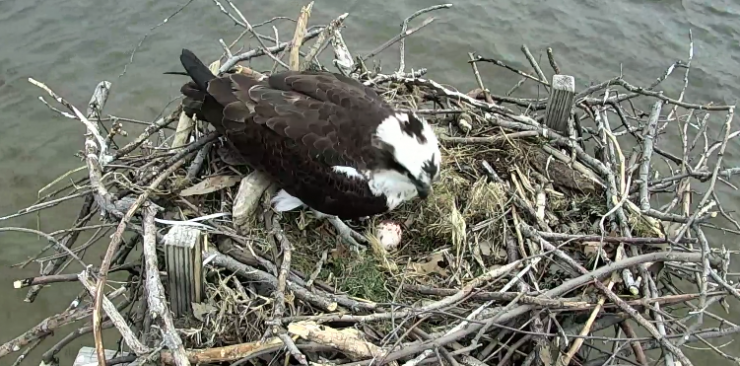 We have an egg! Video still from the live osprey cam feed.