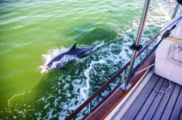 Playful dophins on the Gulf Intracoastal Waterway along Florida's Panhandle
